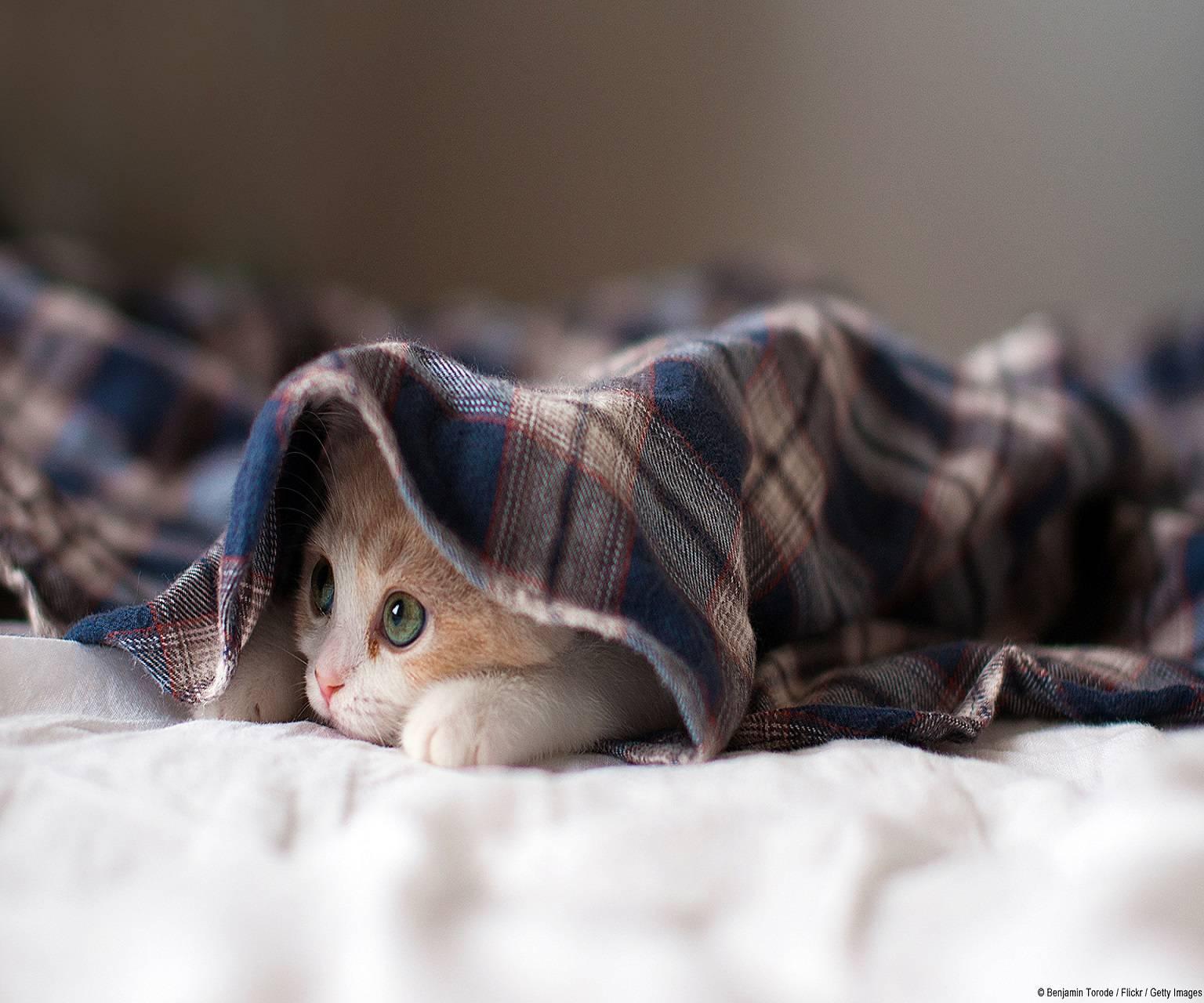 kitten under blanket