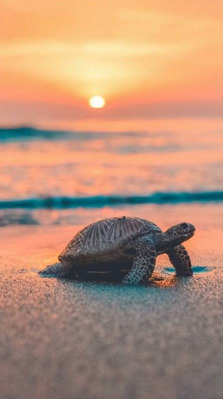 Turtle Wallpapers Free By Zedge