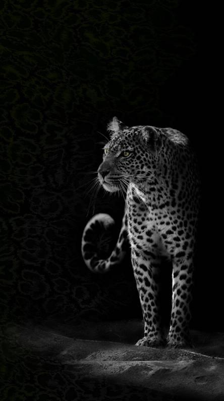 Black Leopard Wallpapers Free By Zedge