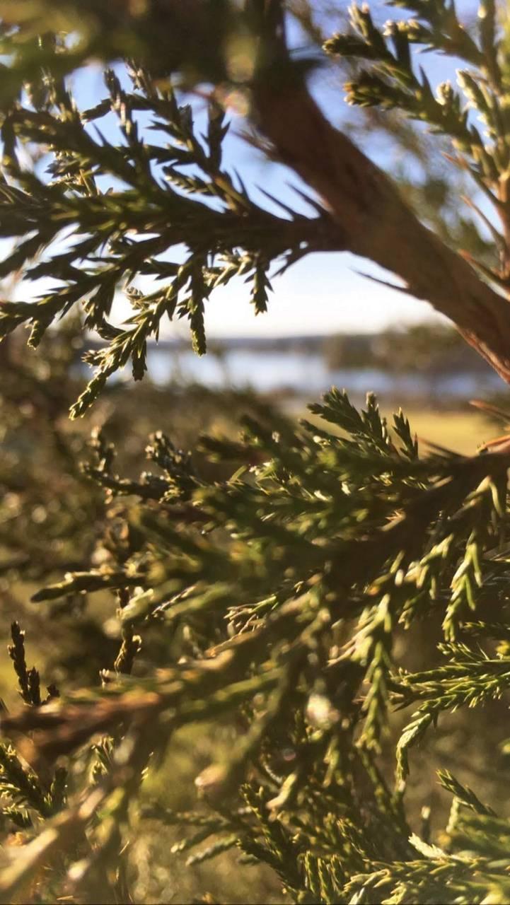 Pine views