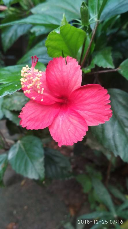 Hibiscus pink dream Ringtones and Wallpapers - Free by ZEDGE™