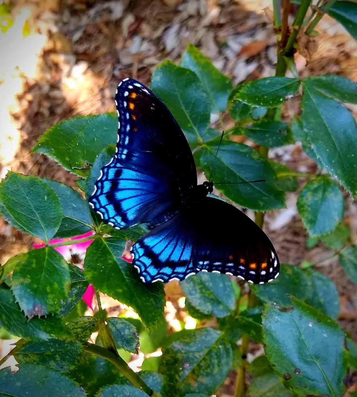 Blackblue butterfly