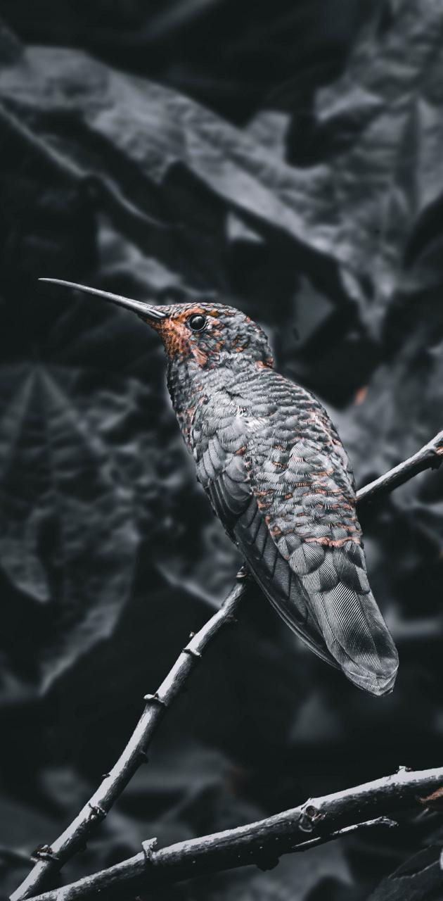 Black hummingbird