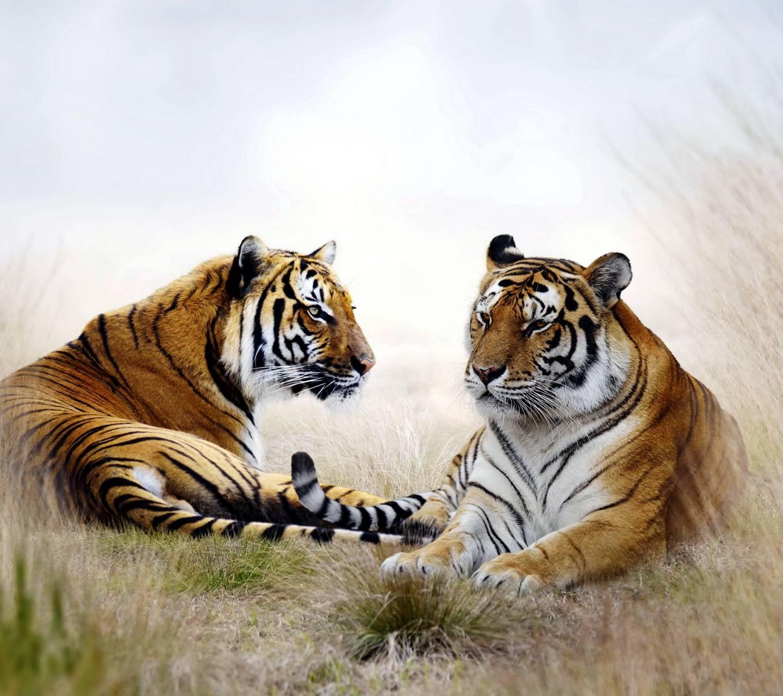 Tigers Pair