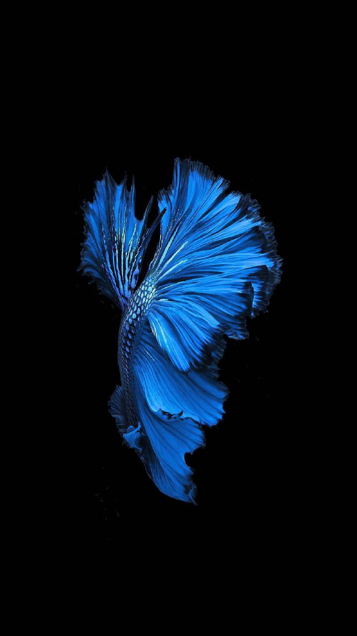 Blue Fighter Fish