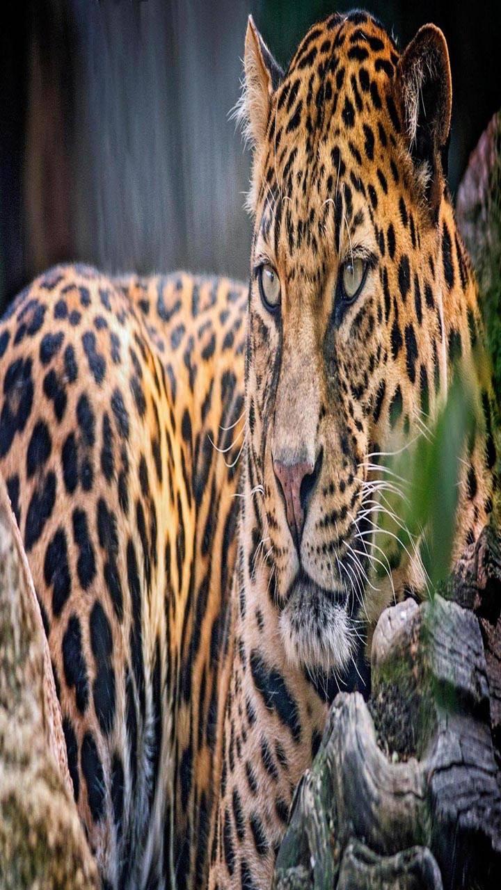 Leopard glance