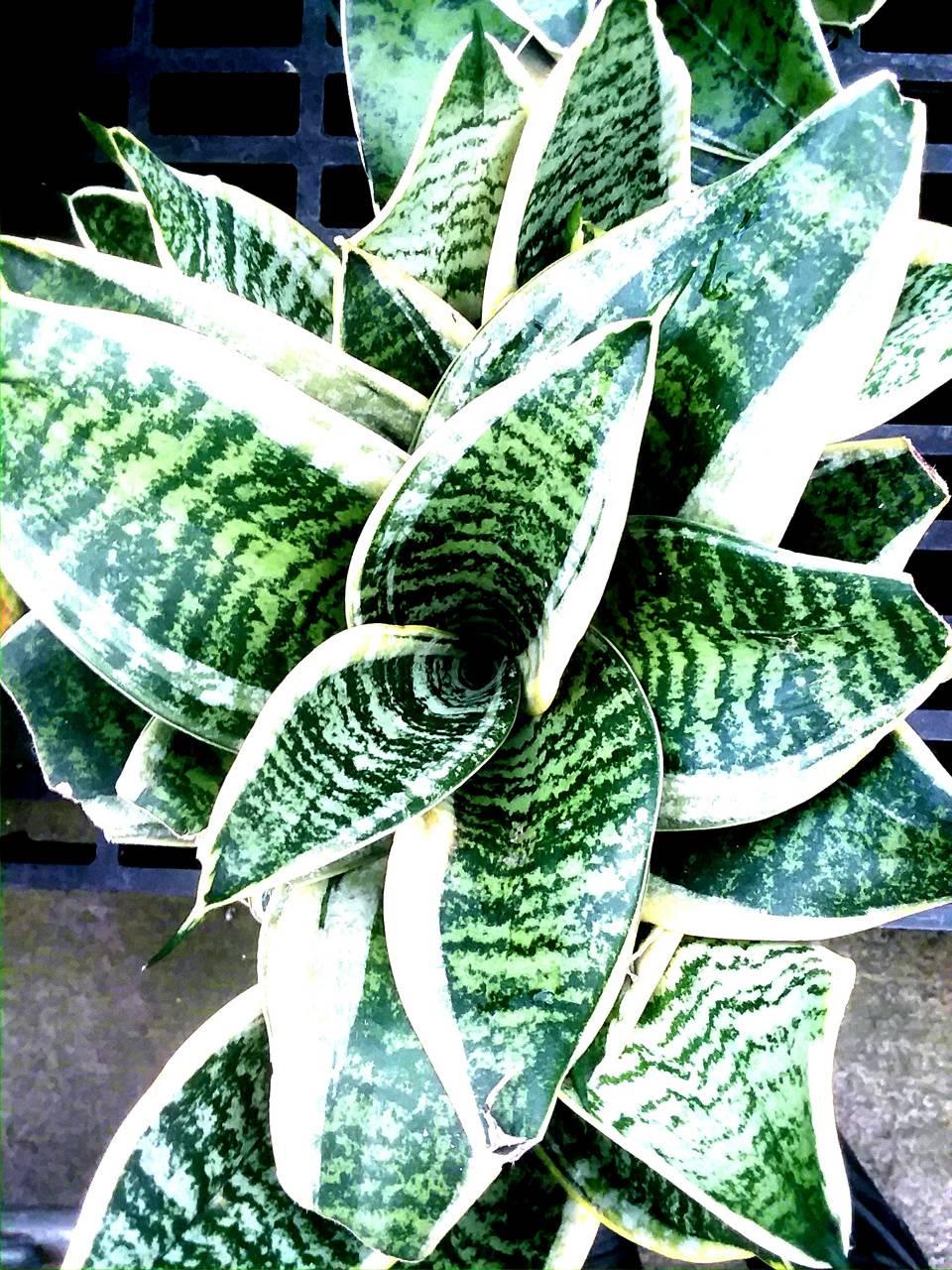 Hawaiian plant