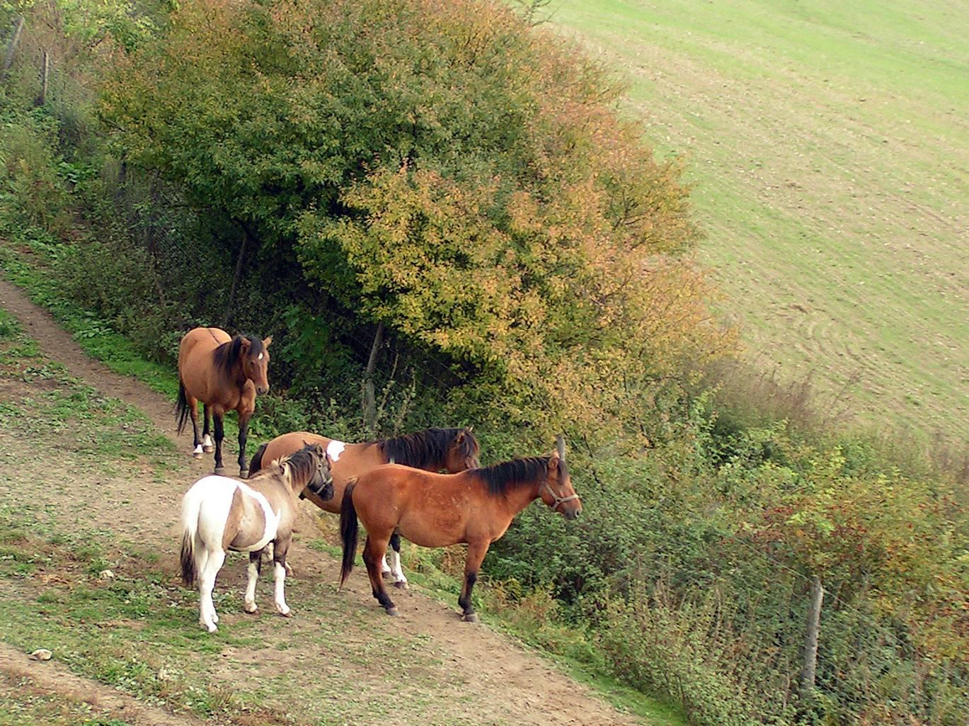 Konie -horses