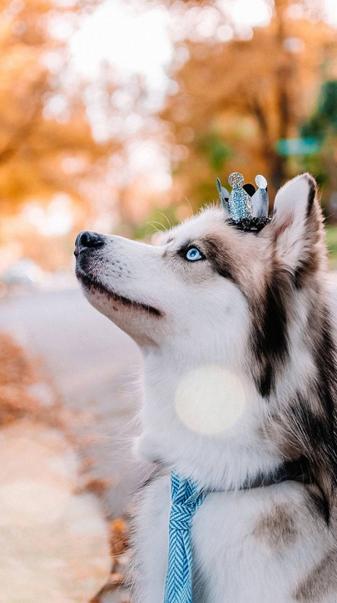 Husky princess