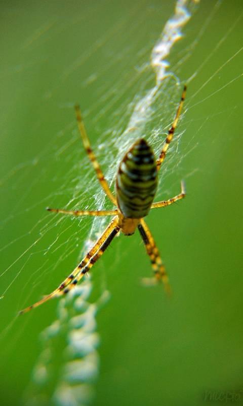 Waspish Spider