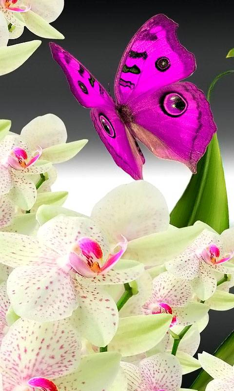 Butterfly Orchids
