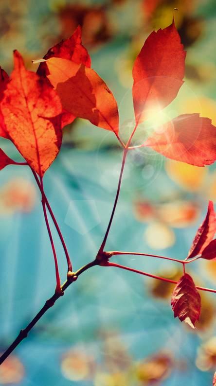 Fall Leaves HD