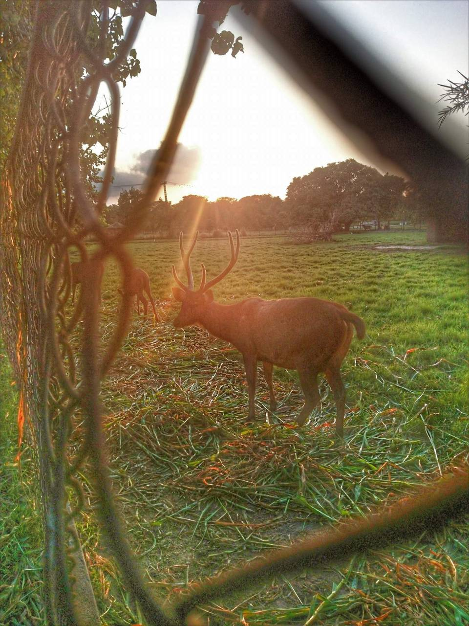 Deer in sunset