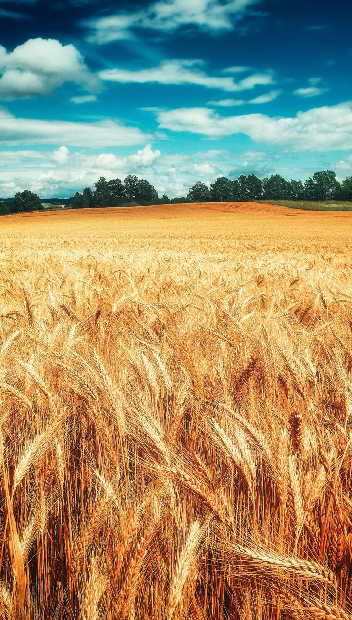 Wheat Nature