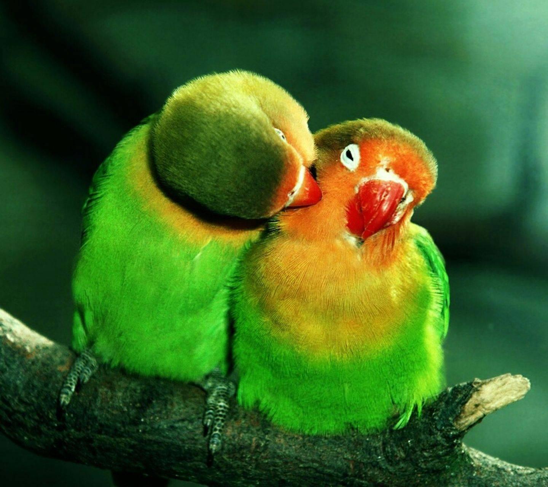 Love Birds Hd Wallpaper By Super Soul Ac Free On Zedge
