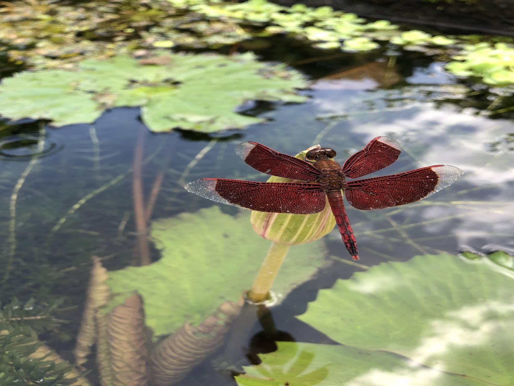 Bali dragonfly