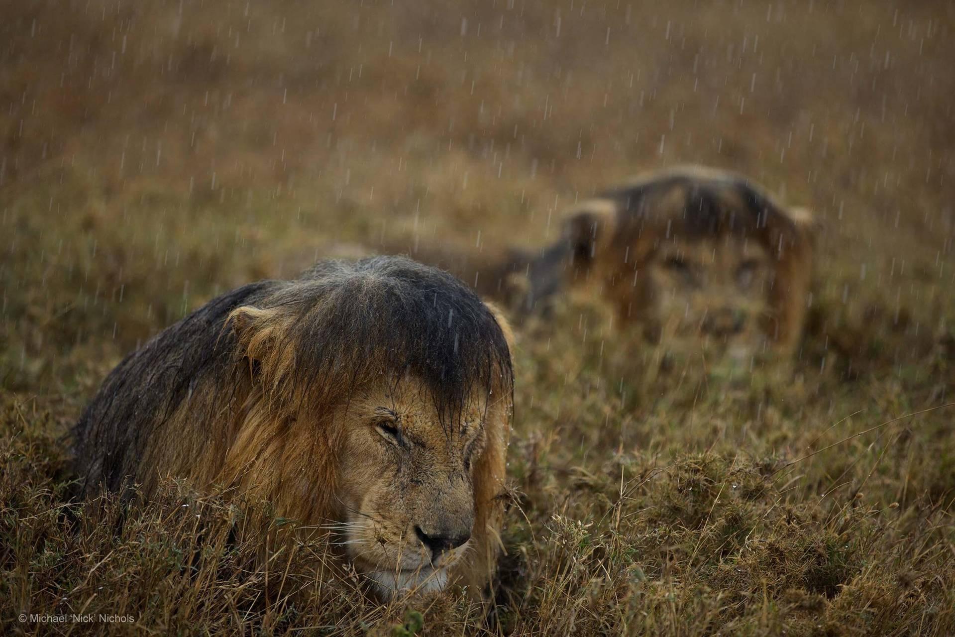 Lion in rain