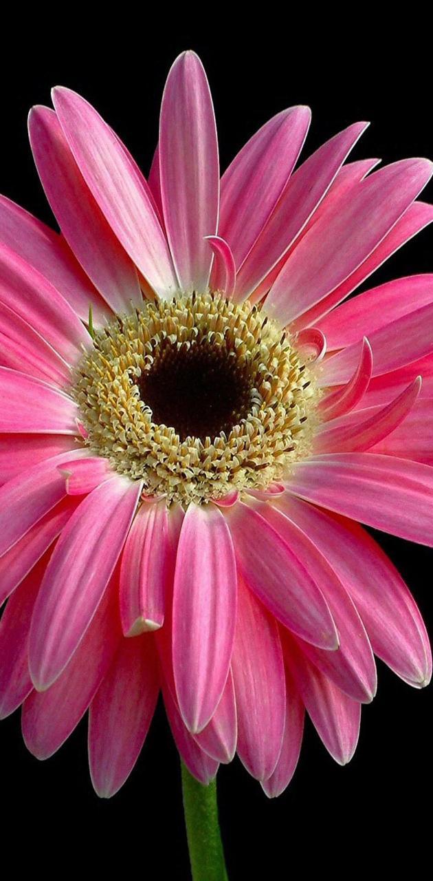 Pink felicia flower