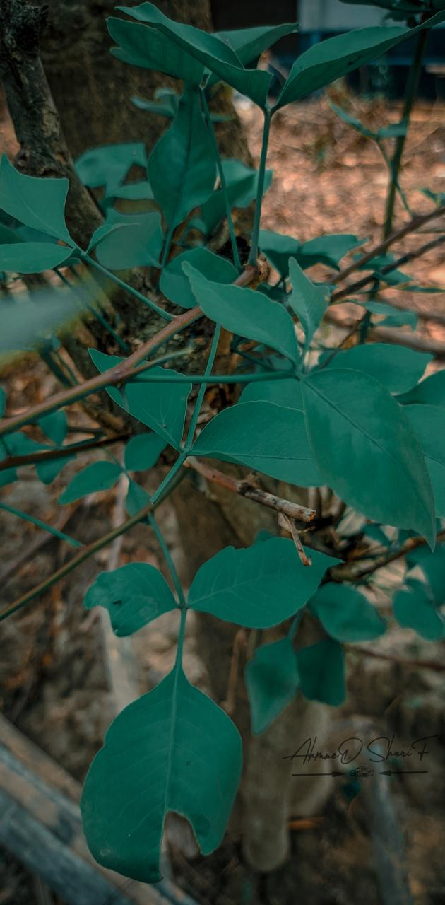 Green Leaf -AHMMED