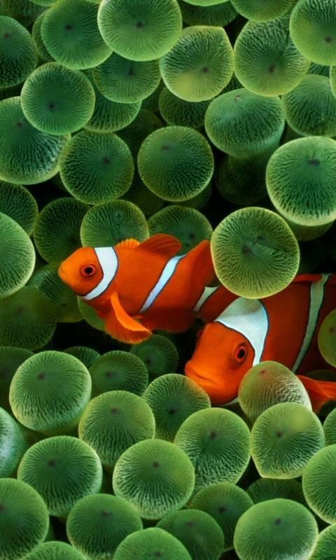 Iphone Clown Fish