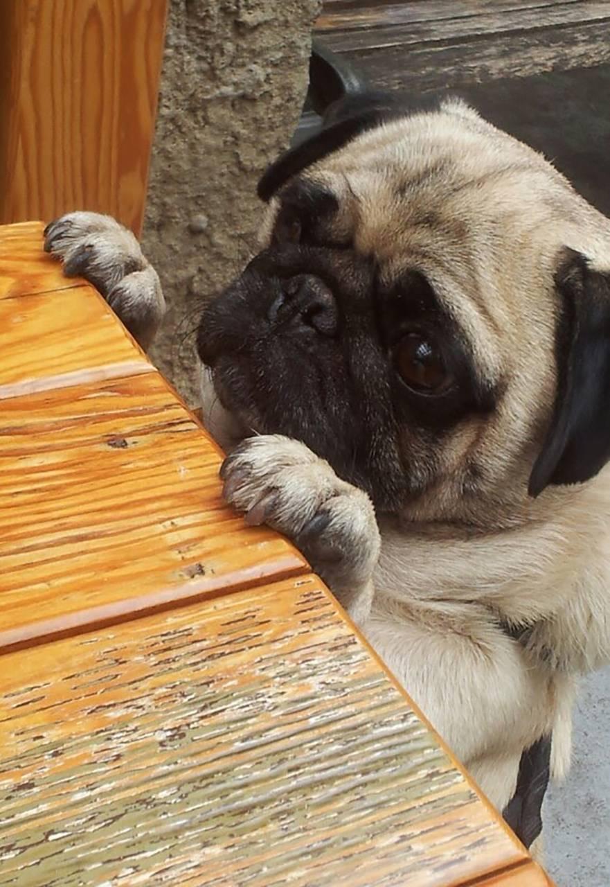 Hungry Pug