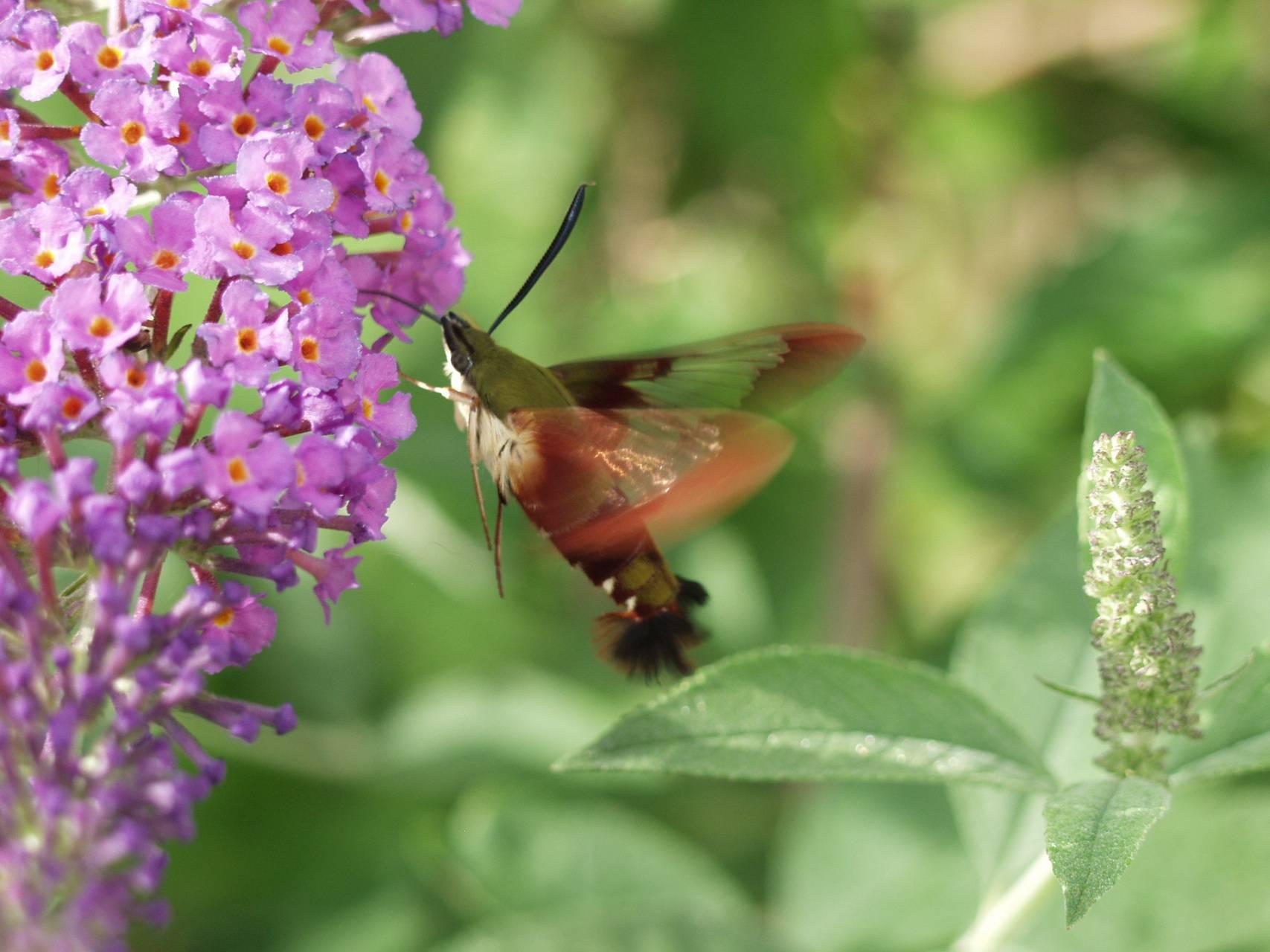 hummimg moth