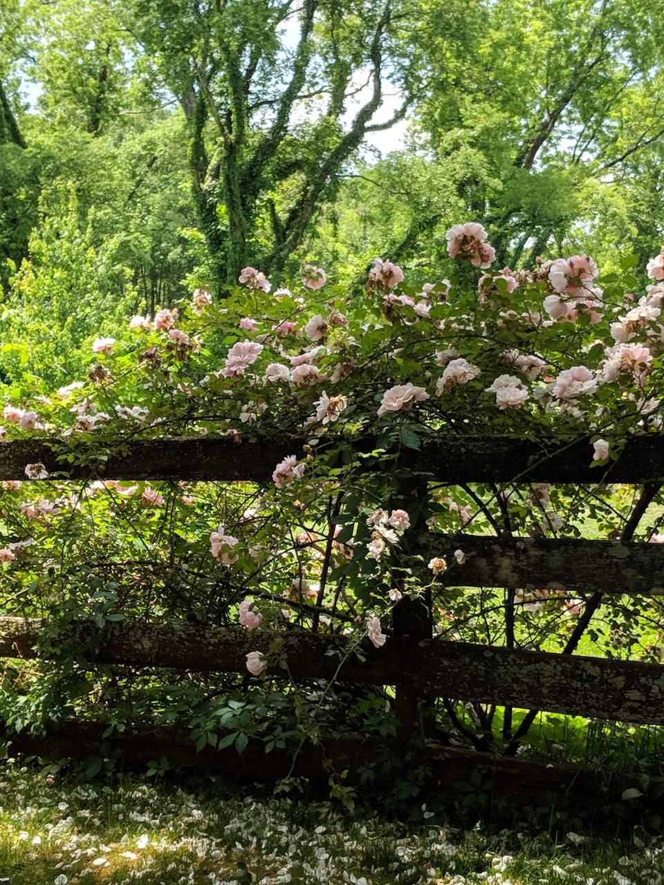 Tea rose fence