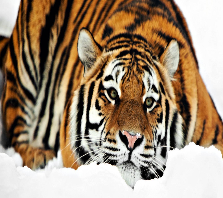 Hd Cute Tiger