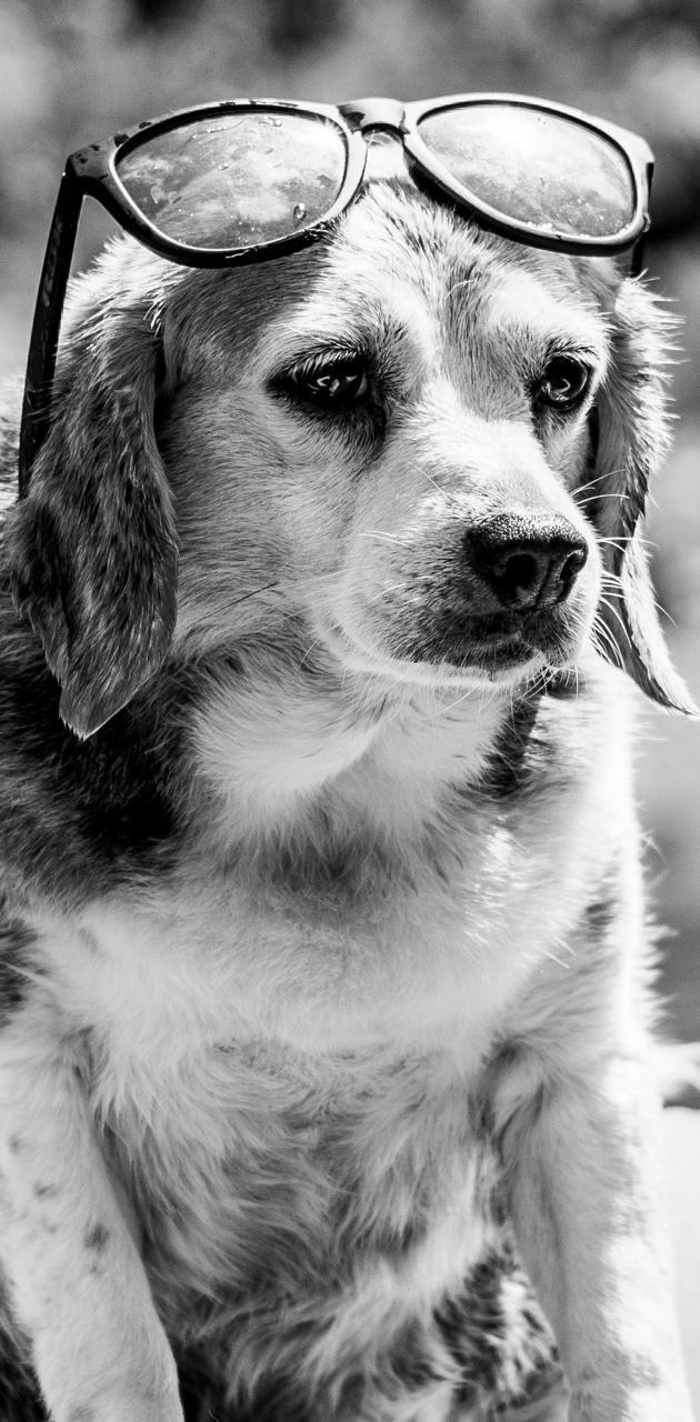 Beagle In Sunglasses