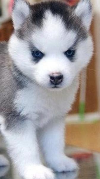 Cute pomski puppy