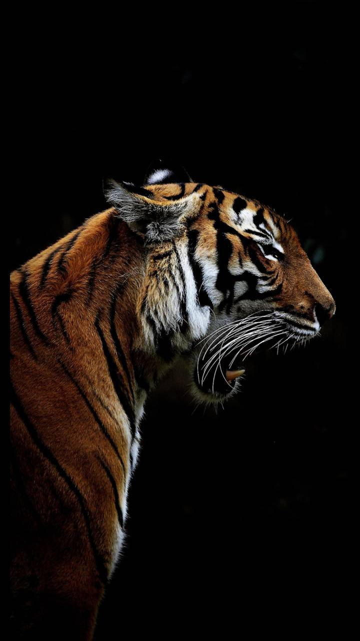 Angry Tiger Wallpaper By Georgekev 5d Free On Zedge