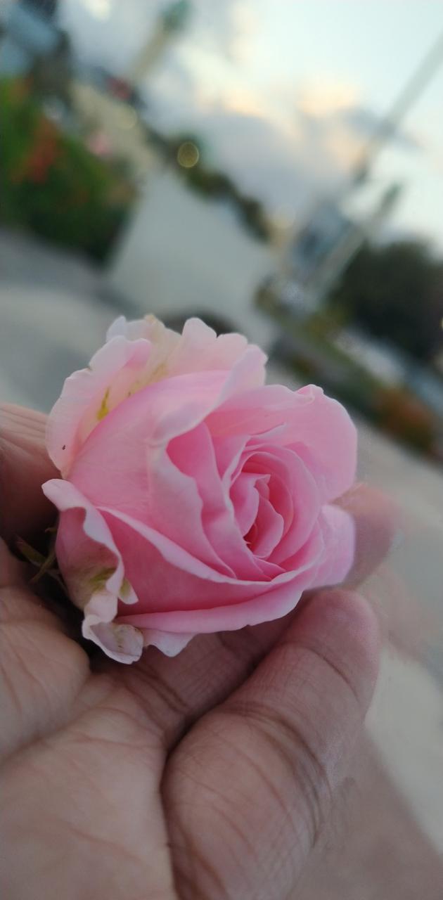 Rose321