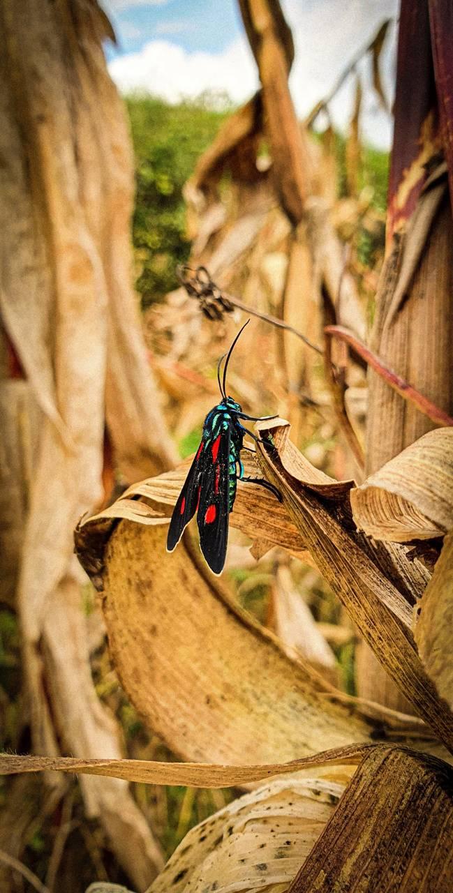 Butterfly EC