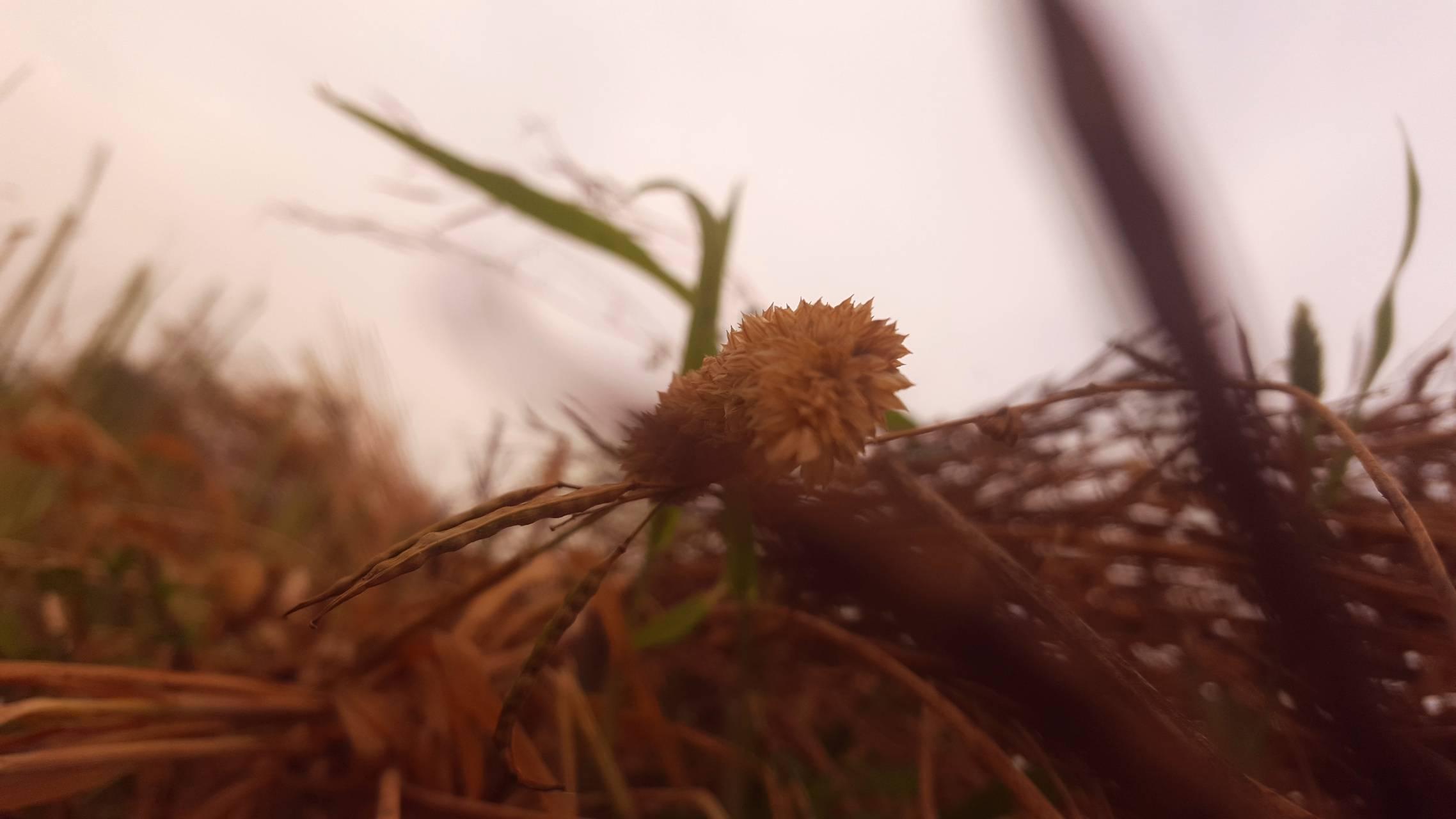 Wheatplant