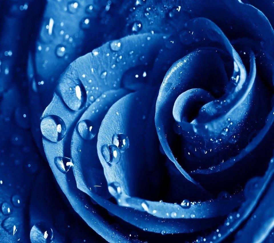 Water Drops Rose
