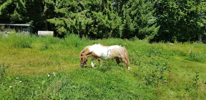 Mini Horse Pony