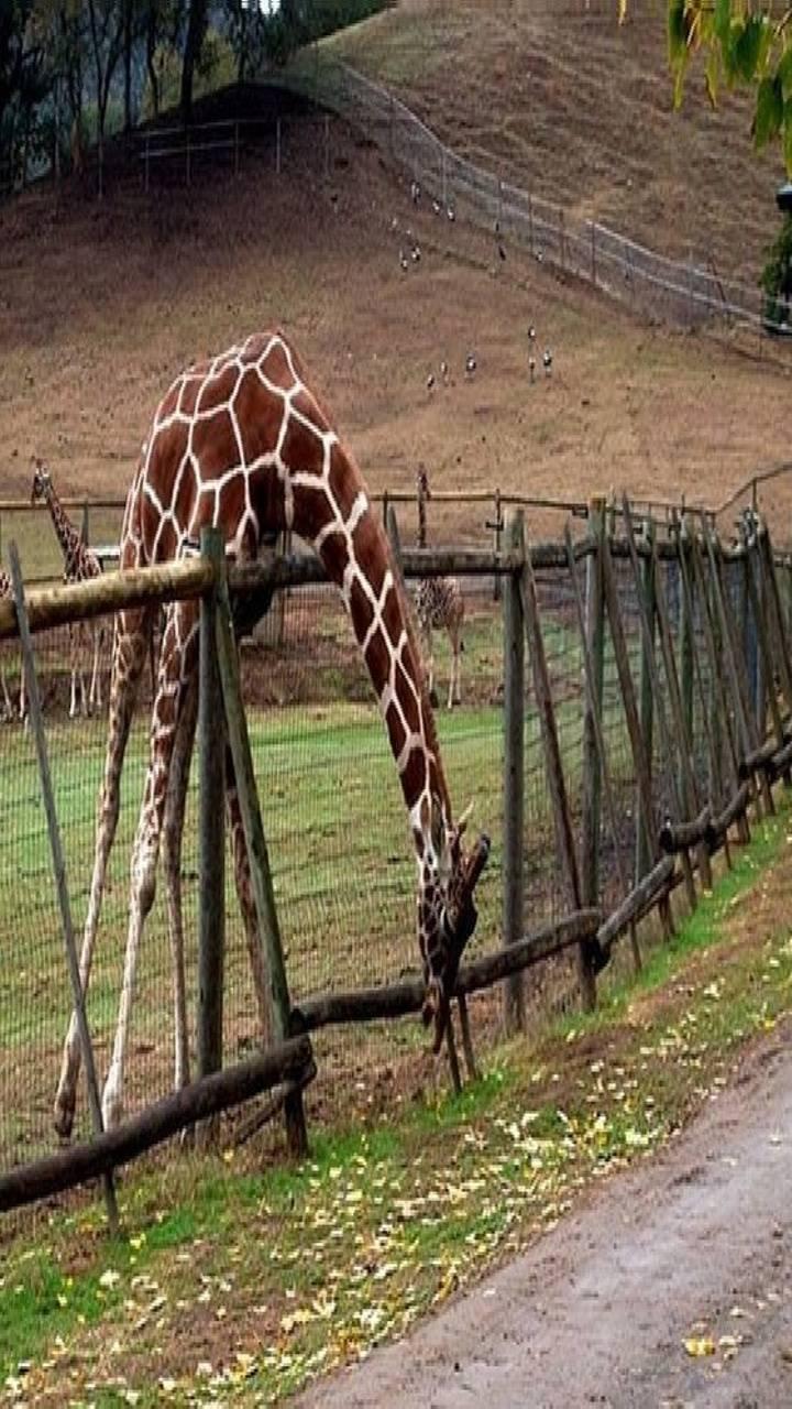 giraffe fance