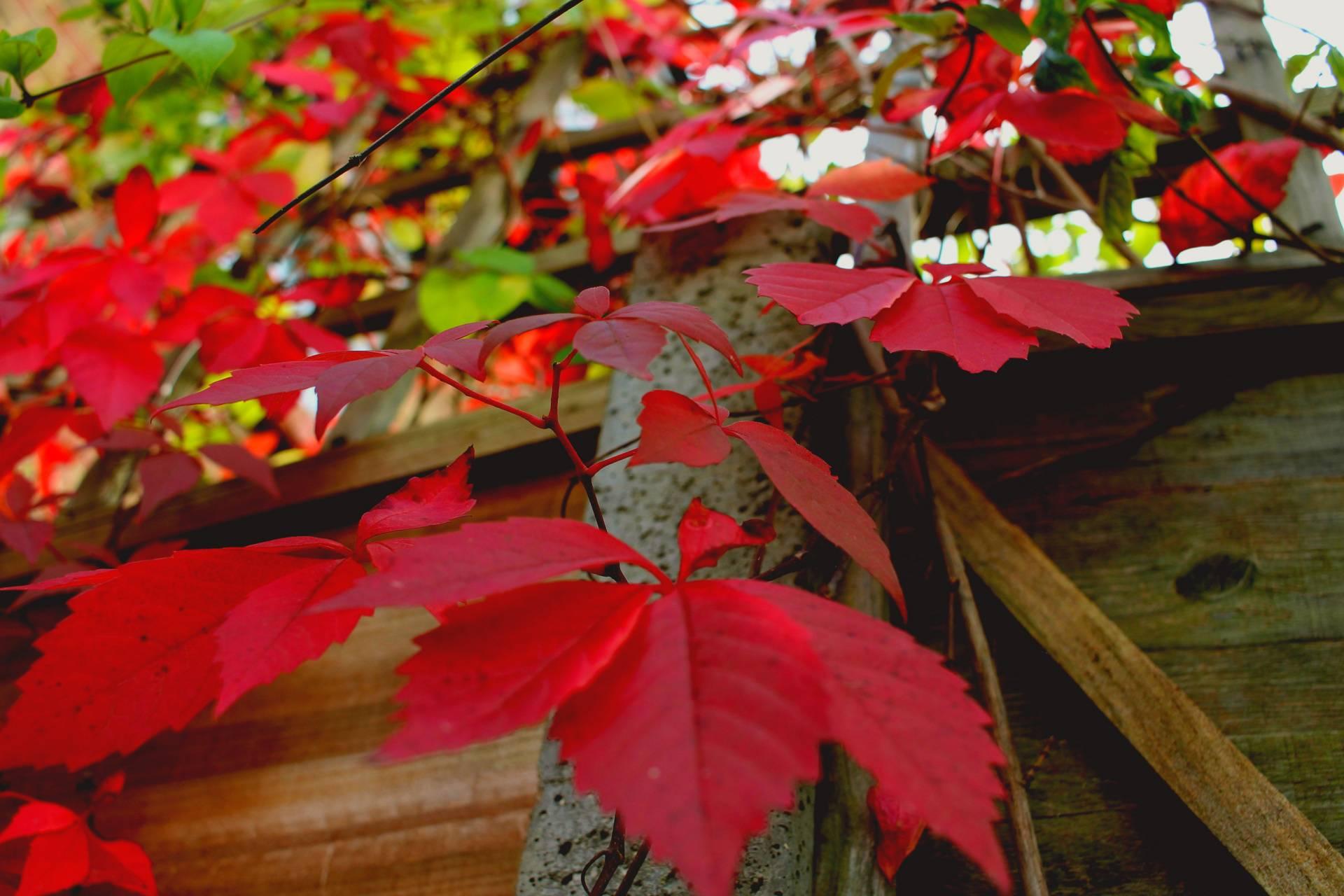 Autumnis commin
