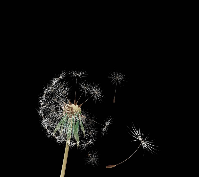 Dandelion Black Wallpaper By Bhappydear 03 Free On Zedge
