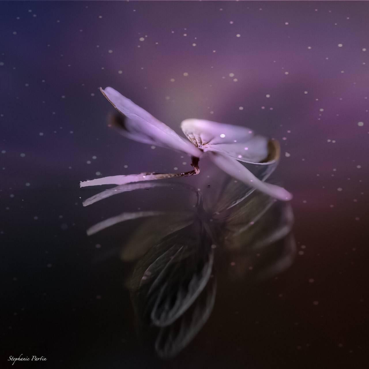 Starlight hydrangea