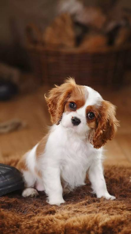 Elivs Cute Dog Wallpapers Free By Zedge