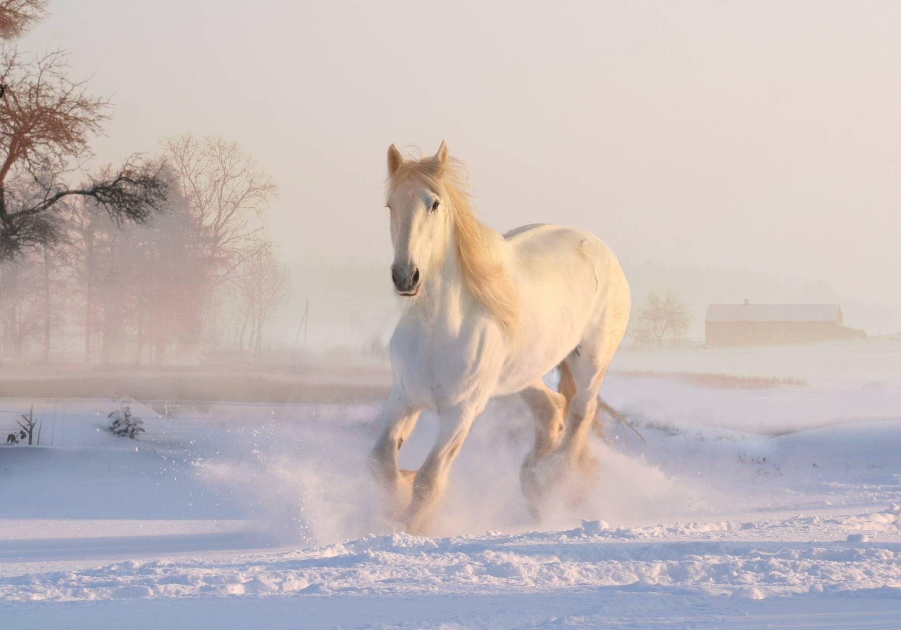 gallop in snow