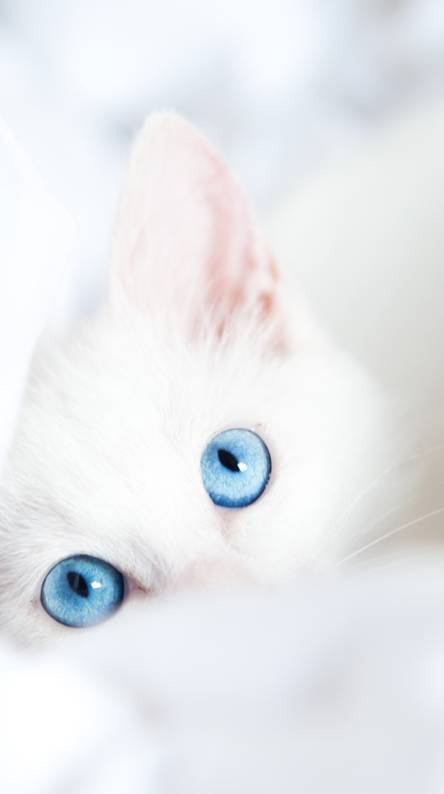 White Ragdoll Kitten Wallpapers