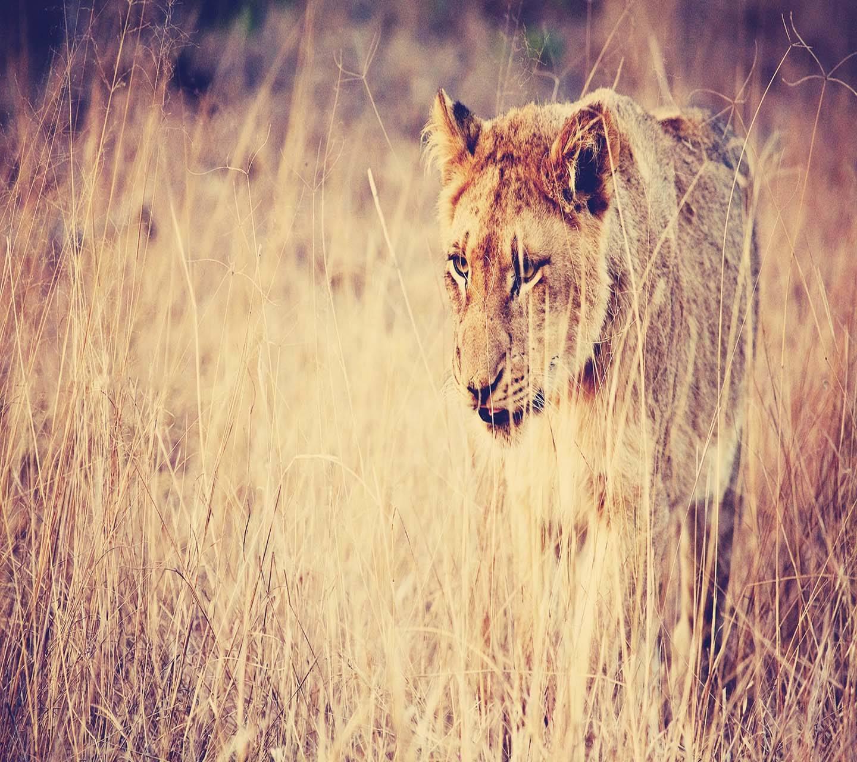 Lion in savanna hd