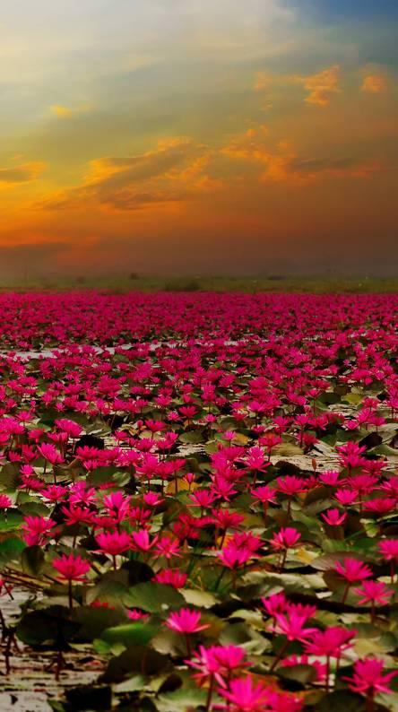 Lotus wild