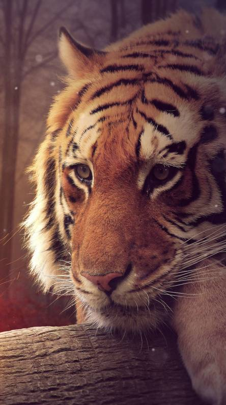 Big Tiger Wallpapers