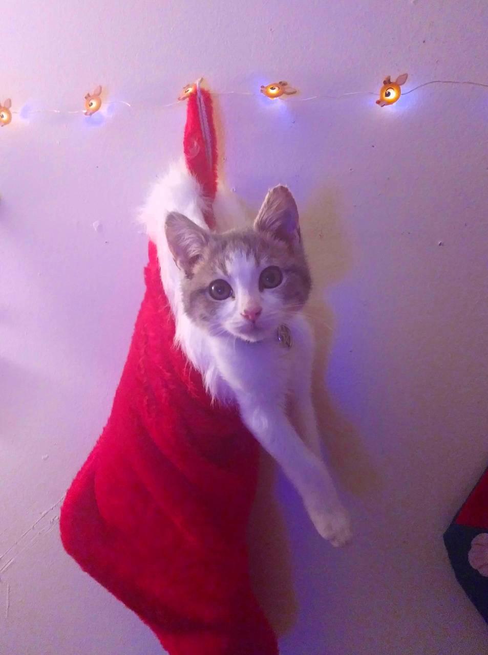 Stocking cat