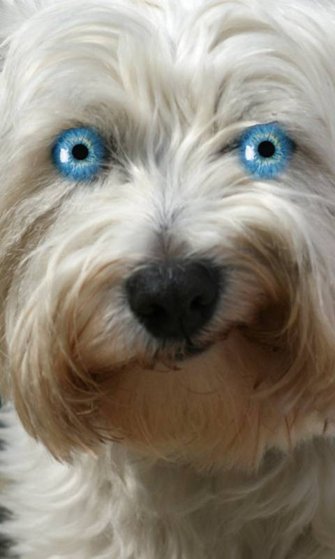 Blue Eyes Dog