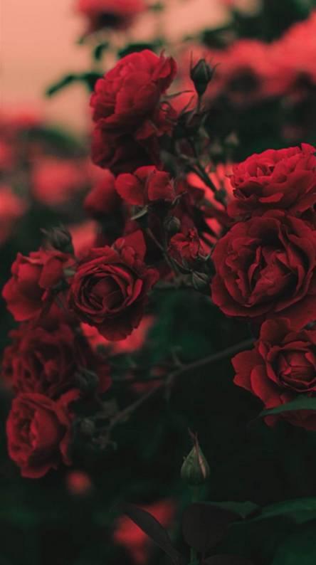 Ideas For Aesthetic Dark Red Roses Wallpaper Photos