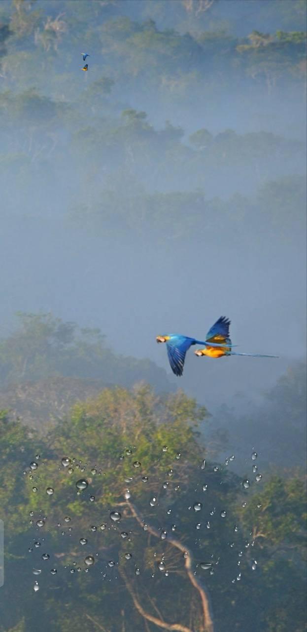 Macaws In Rainforest